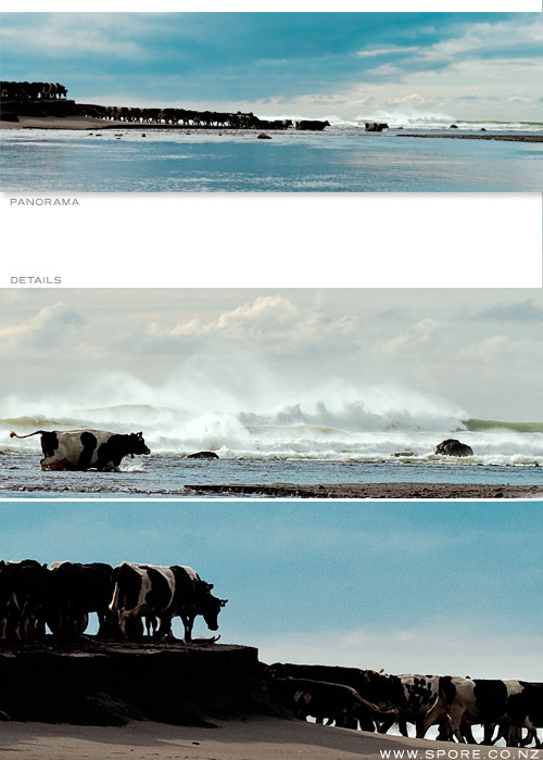 cows on a taranaki beach